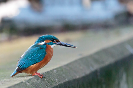 Male Kingfisher in all his glory but with a peculiar beak!! by padlock