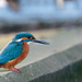 Male Kingfisher in all his glory but with a peculiar beak!!
