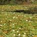 2018 01 15 Waterlilies in abundance