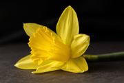16th Jan 2018 - daffodil
