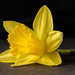 daffodil by jernst1779