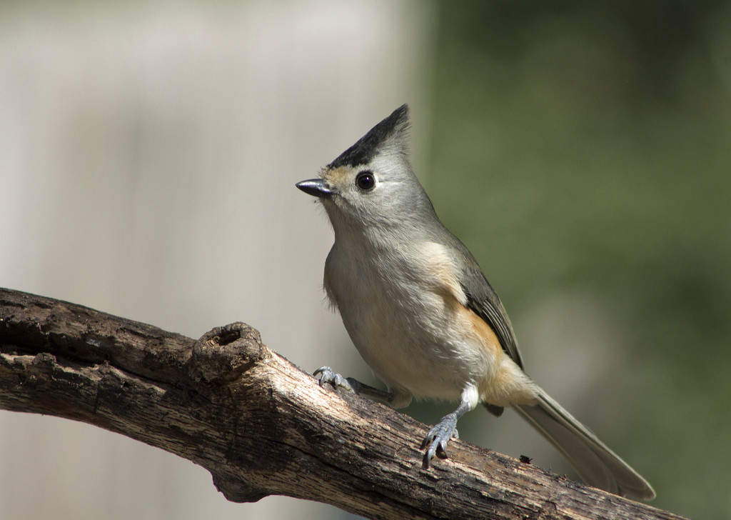Black-Crested Titmouse by gaylewood