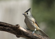 16th Jan 2018 - Black-Crested Titmouse