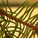 Day 122:  Pine Needles