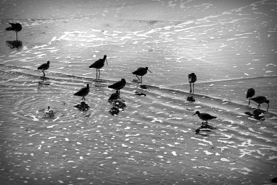 Shorebirds by jaybutterfield
