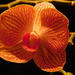 Stripy orchid...