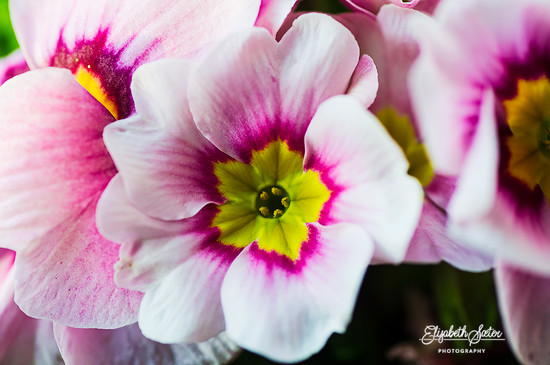 Pink Primula by elisasaeter