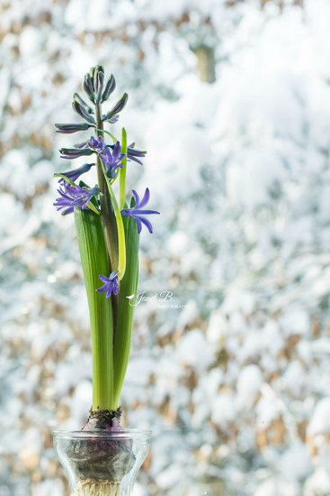 Hyacinth by janetb