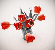 17th Jan 2018 - Snow on tulips