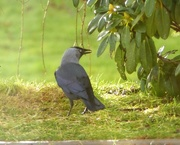 17th Jan 2018 - A Handsome Jackdaw