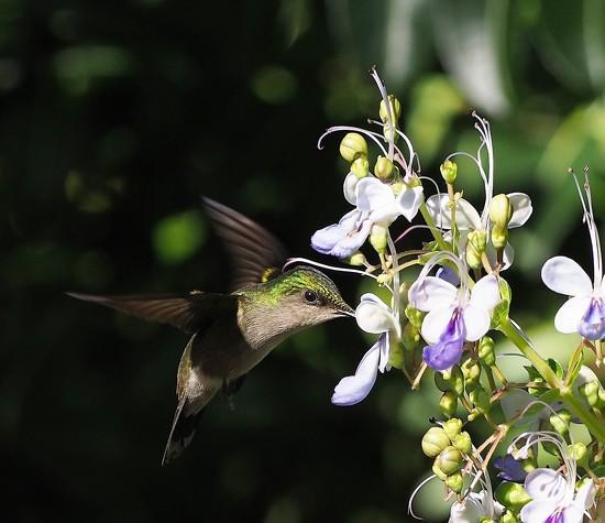 Hummingbird by jacqbb