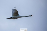 17th Jan 2018 - Swan flying high