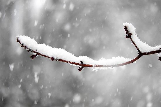 Snow on a branch by homeschoolmom