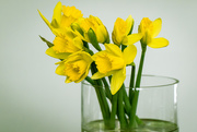 17th Jan 2018 - Daffodils take 3