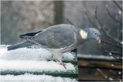 17th Jan 2018 - Wood Pigeon