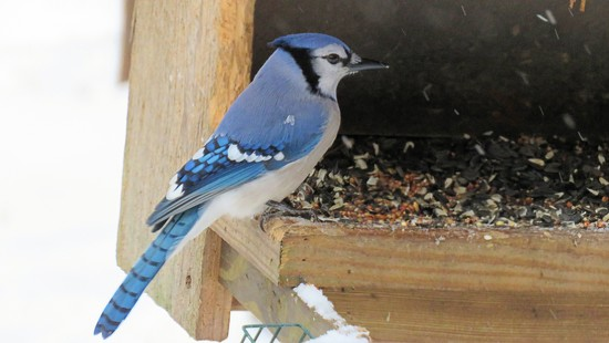 Bluejay by maggie2