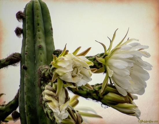 Cactus Flower by yorkshirekiwi