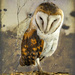 A Barn Owl with a different texture background.