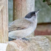Blackcap again