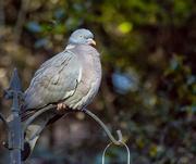 18th Jan 2018 - Big fat pigeon again