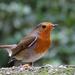 Robin at Elvaston Castle