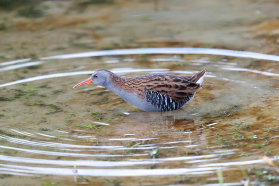 Water Rail-nearly to close!! by padlock