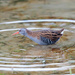 Water Rail-nearly to close!!