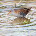 Water Rail-close encounter