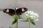 19th Jan 2018 - Heliconious