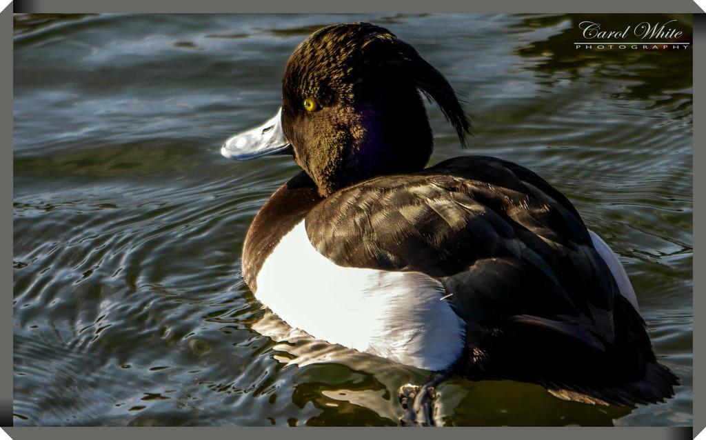 Tufted Duck (male) by carolmw