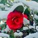 Camilia in the Snow