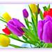Tulips -2