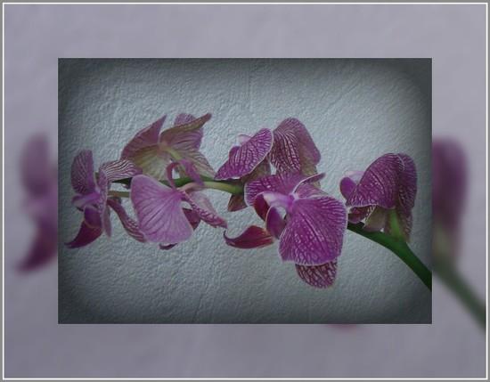 orchids by gijsje