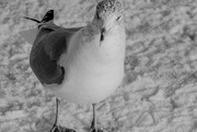 19th Jan 2018 - can you call a seagull pigeon toed?