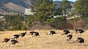19th Jan 2018 - Wild Turkeys