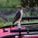 Hawk on VW