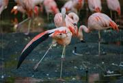 19th Jan 2018 - Flamingo Friday '18 03