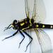 Dragonfly Study by yaorenliu