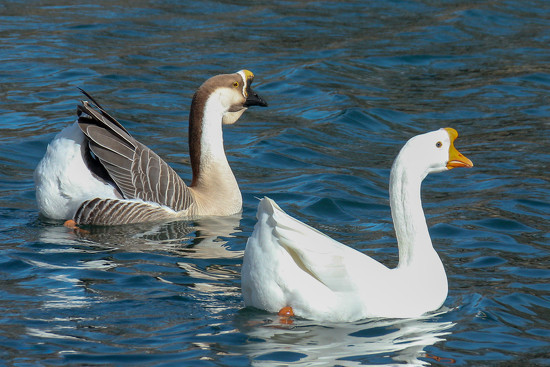 Chinese Geese by fntngrma