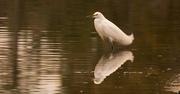 20th Jan 2018 - Snowy Egret!