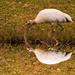 Woodstork Reflection!