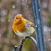 21st Jan 2018 - Robin in the snow