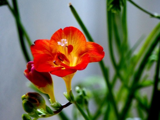 Freesia  by foxes37
