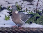 21st Jan 2018 - Wood Pigeon 2