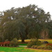 Live oak, Hampton Park, Charleston, SC