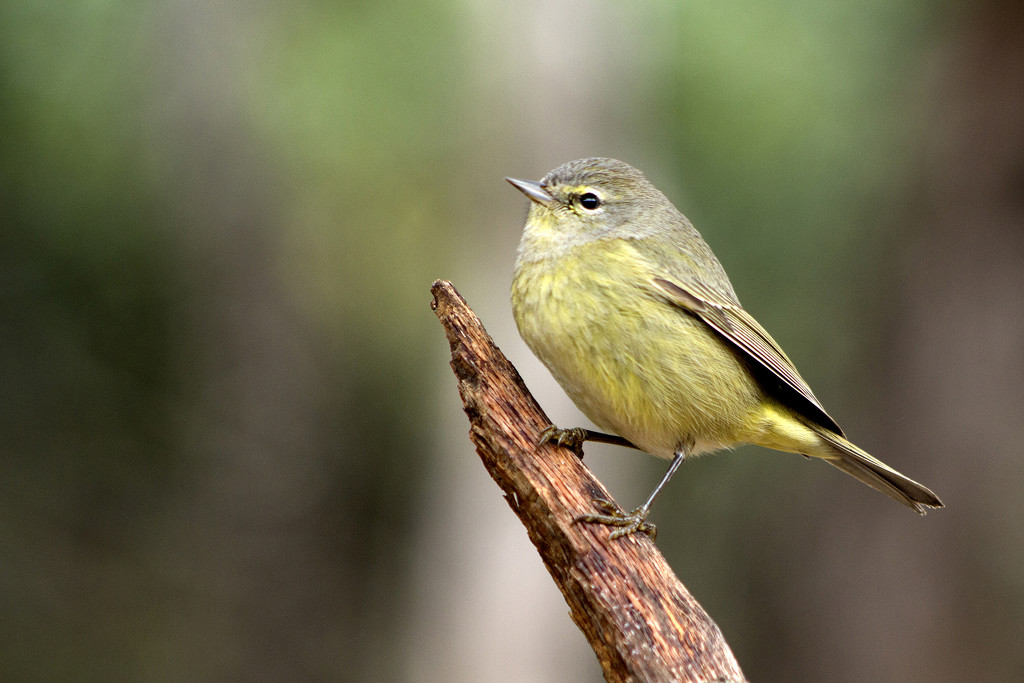 Orange-crowned Warbler by gaylewood