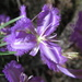 Fringed Lily