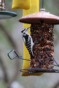 21st Jan 2018 - Downy woodpecker