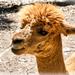 Cute Llama ......