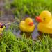 (Day 342) - Wild Ducks